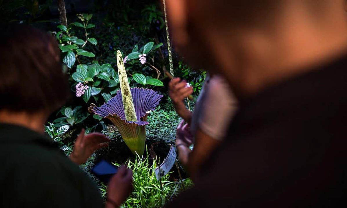 Die Titanwurz-Blüte lockt jedes Mal viele Besucher an.  | Foto: dpa