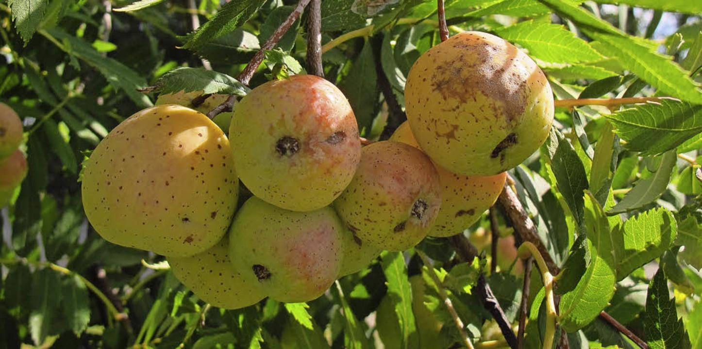 Einer der europaweit seltensten Bäume,...dete man zur Veredelung von Apfelwein.  | Foto: Jutta Schütz