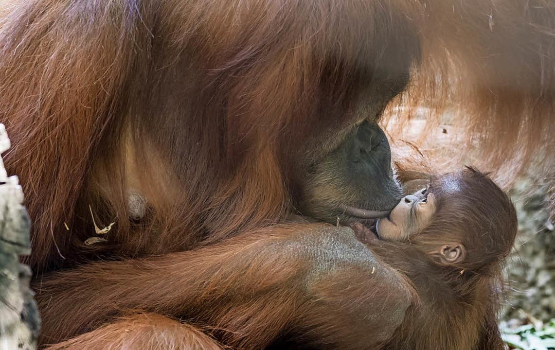 Küsschen für Padma: das kleine Orang U...n wird von seiner Mutter großgezogen.   | Foto: Torben Weber