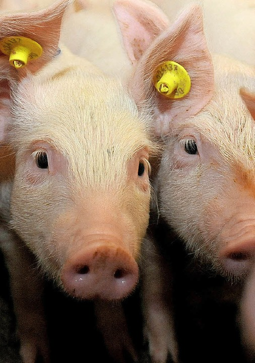 Für Schweine ist die Schweinepest eine tödliche Gefahr.   | Foto: dpa