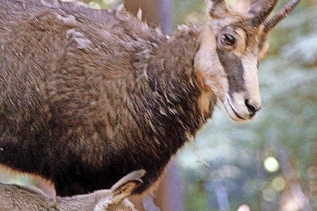 Schwarzwaldgämse in Todtnau unter Beobachtung