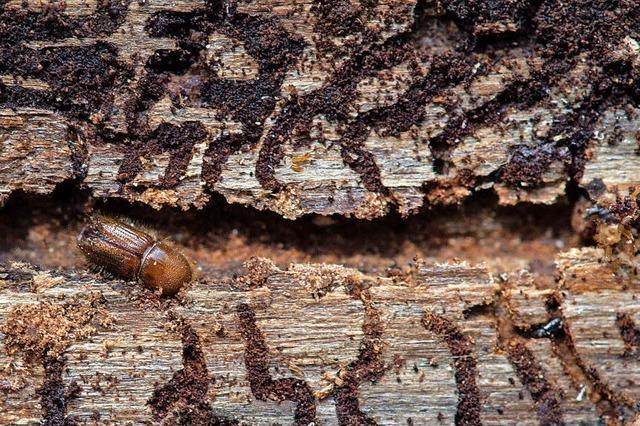 Käfer stoppen den Holzeinschlag