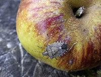 Stinkwanze bedroht Obst und Gemüse