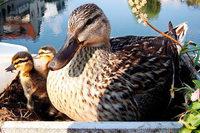 Füttern verboten – weil die Enten fett und krank werden