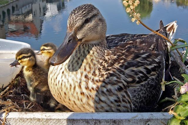 Füttern verboten - weil die Enten fett und krank werden