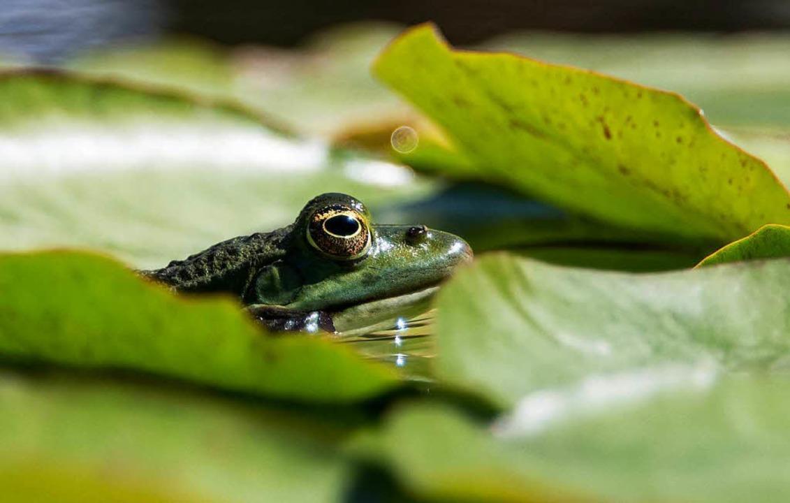 Frosch im Teich   | Foto: dpa