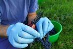 Fotos: So wird Wein aus den Trauben vom Lörracher Hausberg Tüllinger