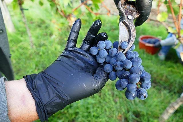 So wird aus den Weintrauben im Rebberg am Tüllinger Neuer Wein