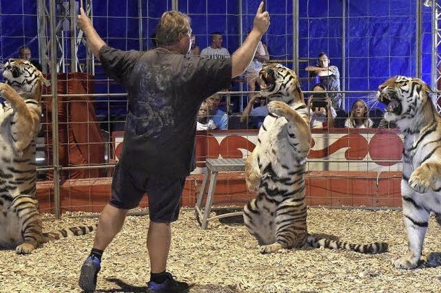 """Tiertrainer Sascha Prehn zeigt, wie er mit seinen vier sibirischen Tigern im """"Circus Manuel Weisheit"""" arbeitet"""