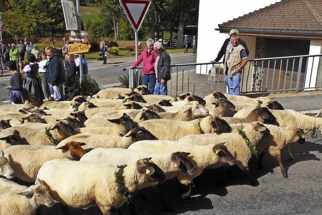 Menschenspalier für 50 Schafe