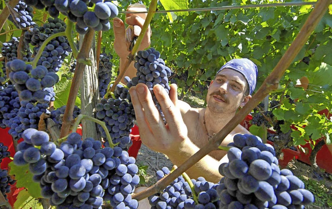 Mit der Qualität der Trauben sind die Experten in diesem Jahr sehr zufrieden.  | Foto: Gollrad/Steckmeister