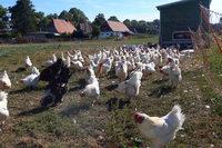Gegen Massentierhaltung: Die Hühner von Bauer Grimme hören Radio