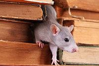 8000 Bücher in Stuttgarter Unibibliothek zerstört – durch Ratten