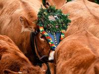 Fotos: Volksfeststimmung beim Oberrieder Viehabtrieb