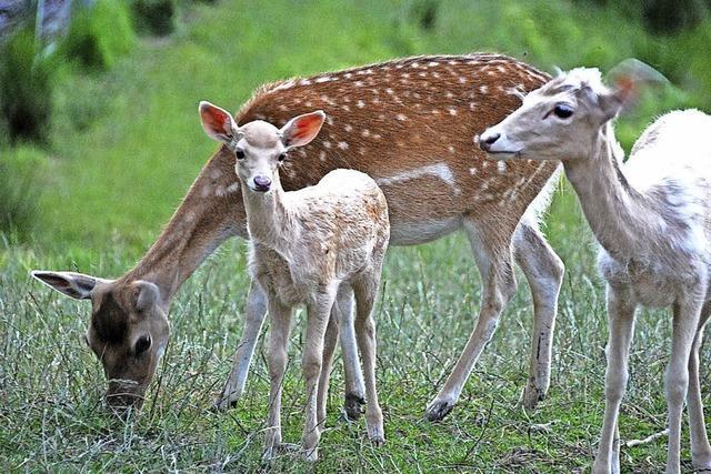 Zeller Wildgehege: Tiere haben sich stark vermehrt