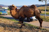 Wenn ein Kamel im Feierabendverkehr grast