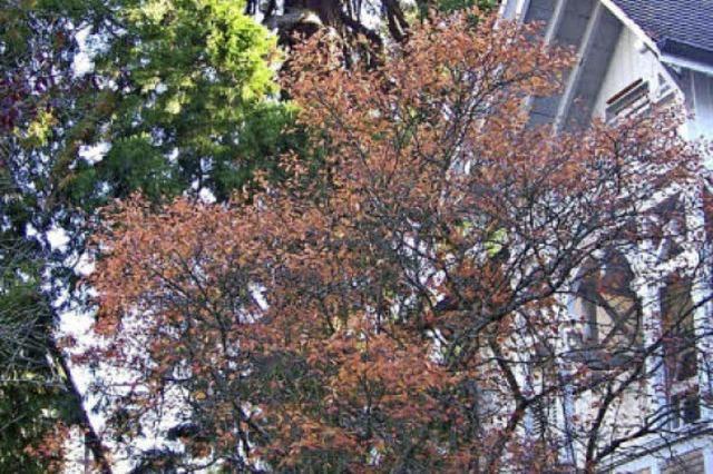 Nach einem Blitzschlag muss ein Mammutbaum in Herdern gefällt werden