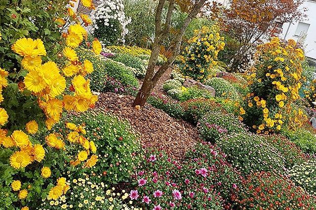 Was Sie über die Chrysanthema in Lahr wissen müssen