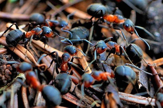 In einem Ameisenhügel steckt viel mehr als nur Tannennadeln