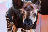 Stuttgarts jüngstes Okapi ist bei einer Operation gestorben