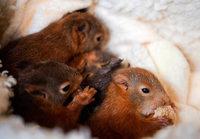 Fotos: Der Eichhörnchen-Notruf päppelt die kleinen Nager auf