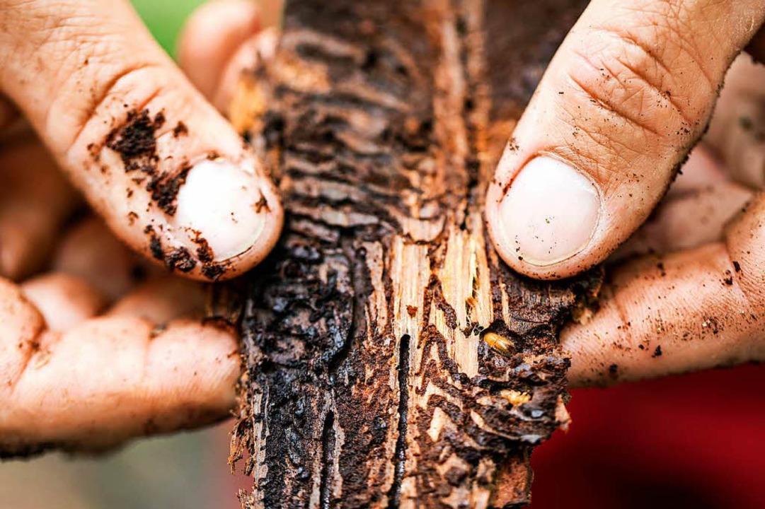Die Borkenkäferlarven<ZAM-BlindTextAus...e Bastschicht zwischen Holz und Rinde.  | Foto: dpa