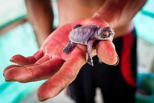 Fotos: So schlüpfen Schildkröten am Strand in Myanmar