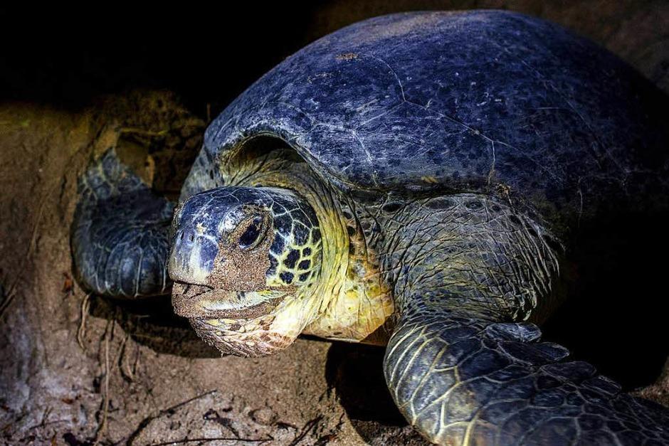 Die Schildkrötenmutter legt ihre Eier nachts in eine Sandgrube ab. (Foto: AFP)