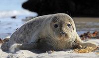So viele Seehunde wie lange nicht an der Nordsee geboren