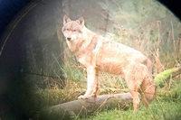 Immer mehr Wölfe im Südwesten gesichtet – oder sind es Hunde?