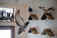 Der Kampf um die Taube - Kann Zucht nationales Kulturerbe sein?
