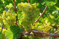 Die badische Weinwirtschaft scheint von allen guten Geistern verlassen zu sein