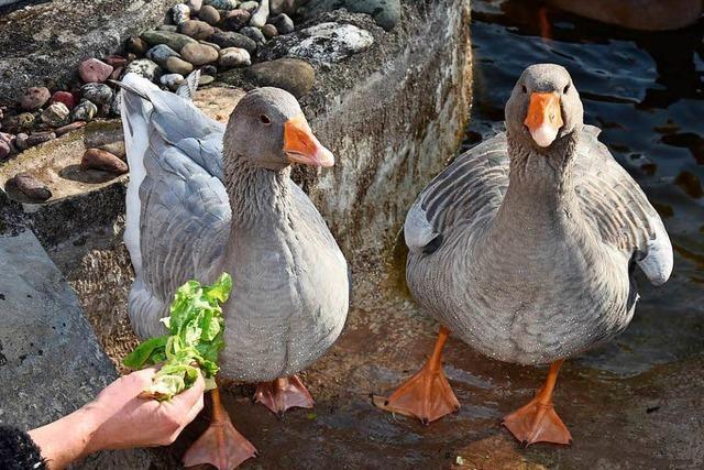Fotos: 350 Tiere bei Tauben- und Geflügelausstellung