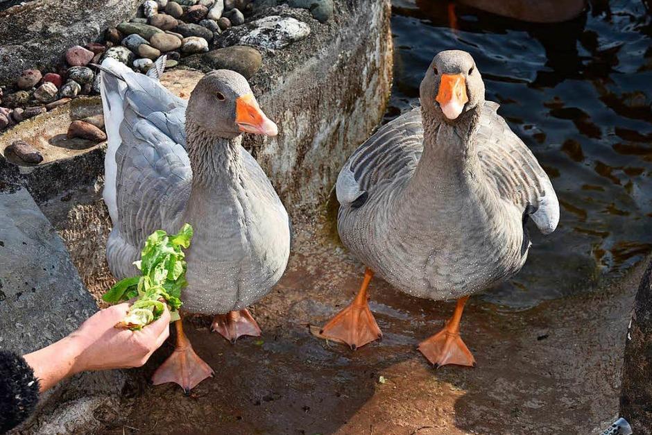Ausstellung des Tauben-und Geflügelzuchtvereins Rheinfelden (Foto: Heinz und Monika Vollmar)