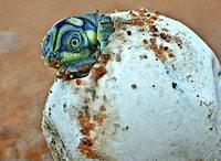 Mehr Schildkröten dank Wildhüter