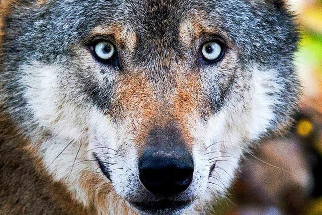 Ein Wolfsexperte aus Brandenburg berät die Bauern im Schwarzwald