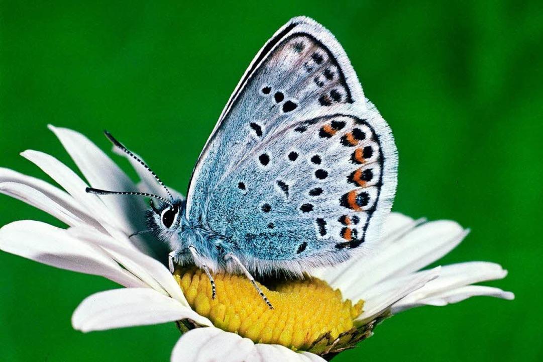 Immer mehr Tier- und Pflanzenarten ver...der Argusbläuling gilt als gefährdet.   | Foto: dpa