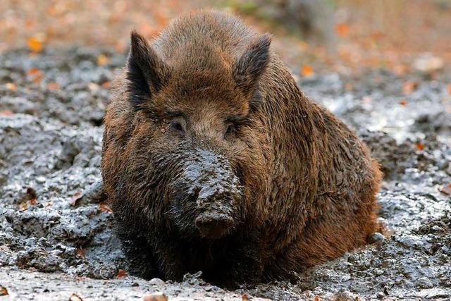 600 Jäger können bei Treibjagd auf dem Dinkelberg nur 26 Wildschweine erlegen