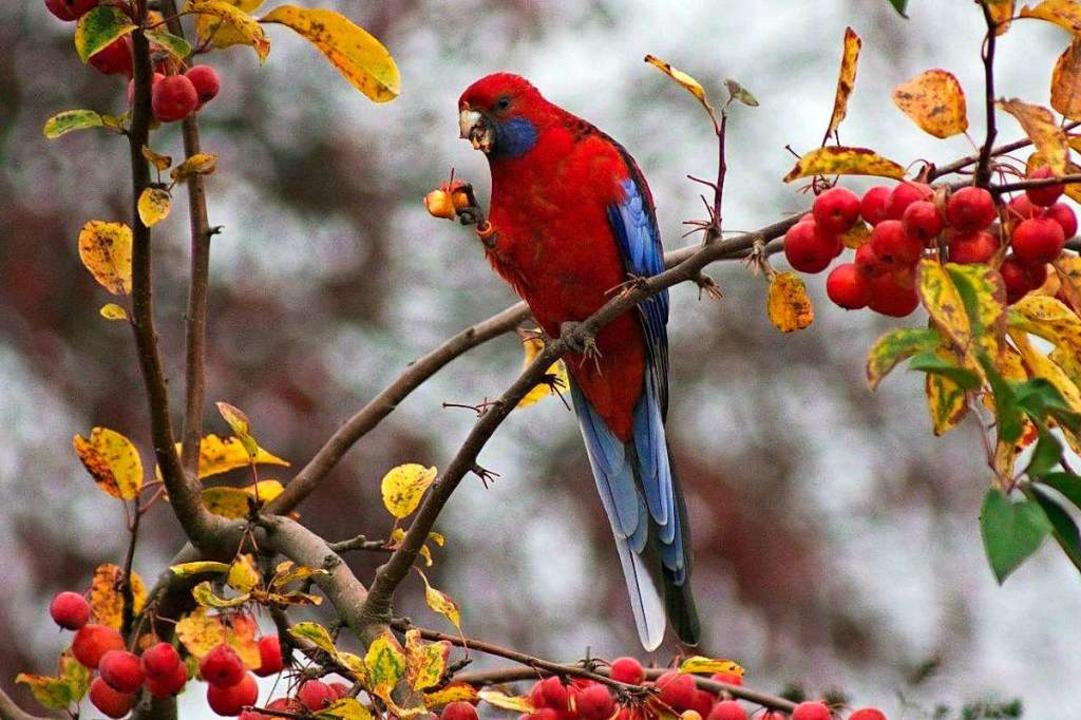 Der kleine Papagei ist vermutlich ein Pennantsittich.  | Foto: Wolfgang Engelbert