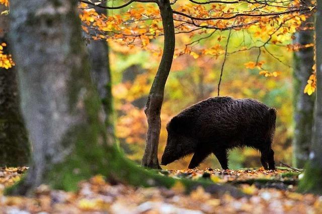 Wildschweine vermehren sich wie nie – helfen Treibjagden?