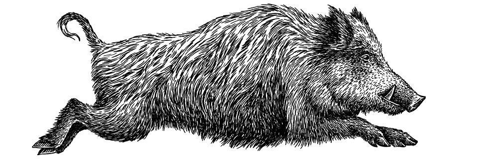 Wildschweine vermehren sich wie nie - helfen Treibjagden?