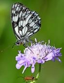 Schmetterling des Jahres gekürt