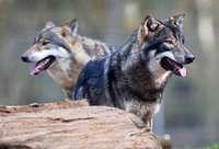 Möglicher erster Angriff seit Rückkehr der Wölfe wird untersucht