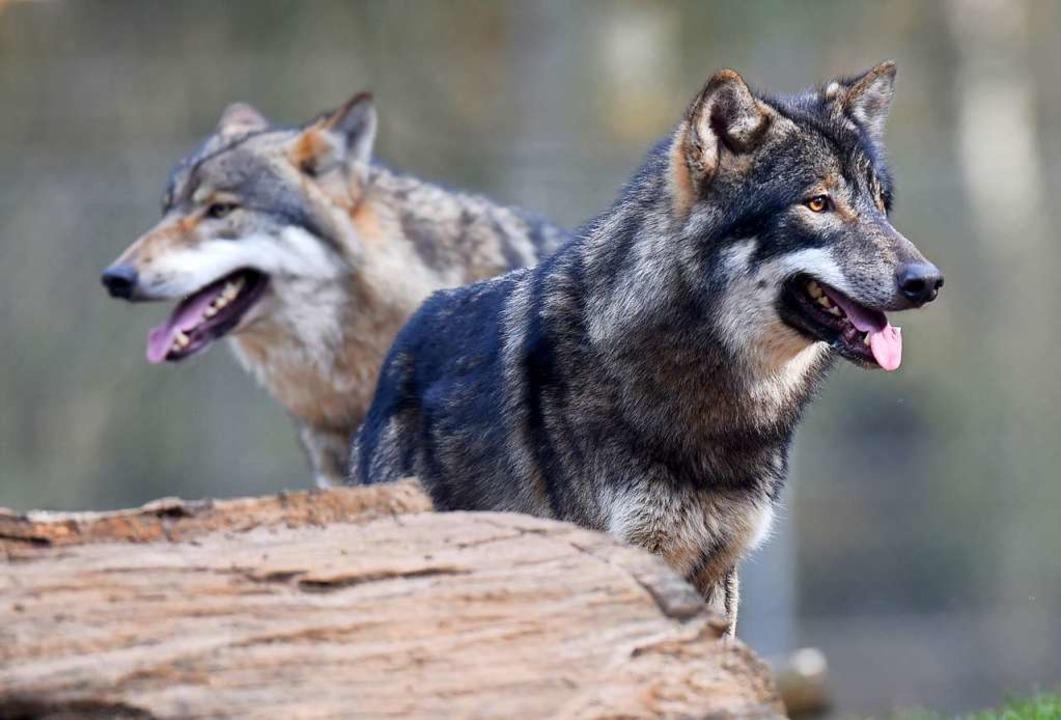 Wölfe in einem Wildpark    Foto: dpa