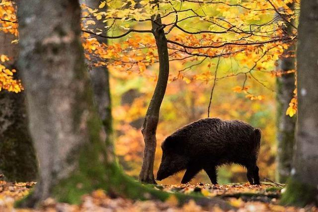 Aggressives Wildschwein verletzt Kleinkind und 74-Jährigen