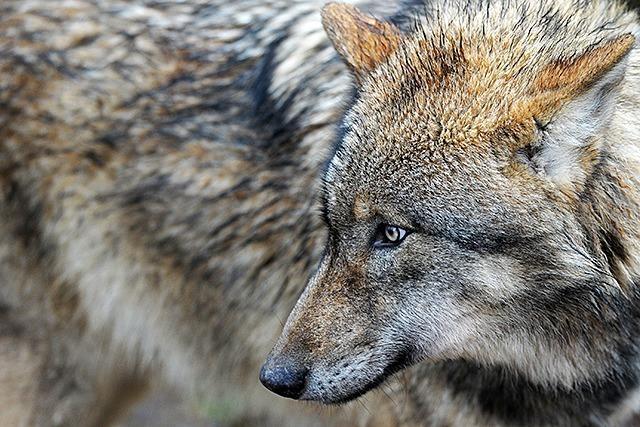 Kotprobe belegt: Zweiter Wolf streift durch den Nordschwarzwald