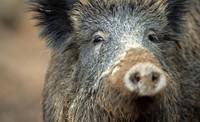 Wildschwein verletzt Kleinkind und Erwachsenen