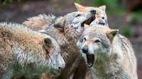 Grüne bekräftigen Nein zur Jagd auf Wölfe - Positionspapier vorgelegt