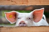 """Wellness für die Sau: In Buggingen entsteht ein """"Schweinehotel"""""""