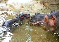 Das Karlsruher Flusspferdbaby ist gestorben